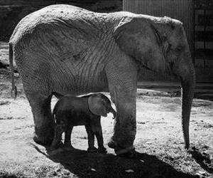 In an April 1978 photo, the baby elephant Little Diamond, with her mother, Toto, takes her first trip outside since she was born at the Knoxville, Tenn., zoo. The first African elephant bred and born in captivity in the Western Hemisphere, Little Diamond died Tuesday, June 17, 2014, at the...