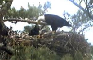 This image from provided by Biodiversity Research Institute shows an adult bald eagle feeding a young eaglet Wednesday in a nest at an undisclosed location in Maine.