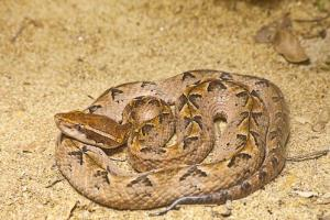 A Malayan pit viper.