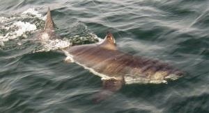 This 2010 file photo shows a juvenile great white shark. A similar creature bit a long distance swimmer yesterday morning in Southern California.