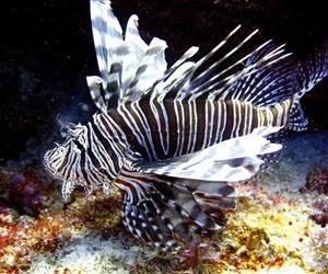 In this May 22, 2012, file photo, a lionfish swims near coral off the Caribbean island of Bonaire.