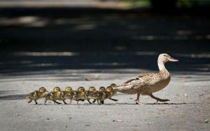A duck with its ducklings crosses a footpath in Offenbach, near Frankfurt, central Germany, Wednesday July 2, 2014.