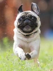A pug goes for a run.