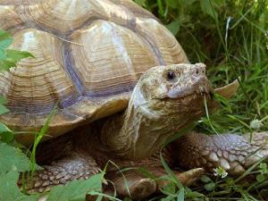 This undated photo provided by the GarLyn Zoo in Naubinway, Mich. shows, a tortoise from the zoo.