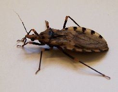 The kissing bug can transmit Chagas disease.