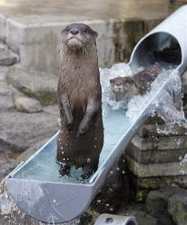 A river otter stands up after hitting the waterslide at Ichikawa Zoological and Botanical Garden in Ichikawa, east of Tokyo, Wednesday, July 30, 2014.