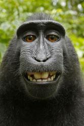 Wikimedia's caption: Taken by a macaque in Sulawesi, with David Slater's camera. As the work was not created by a human author, it is not eligible for a copyright claim in the US.