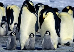 This photo supplied by Warner Independent Pictures shows emperor penguins.