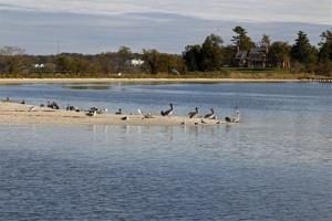 Pelicans are seen in a sand bar from the research vessel Kerhin on the Chesapeake, Thursday Nov. 1,  2012.