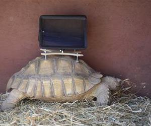 This Aug. 2 photo shows a tortoise with an iPad mounted on its back.