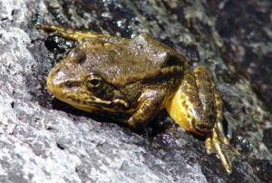 This image provided by the US Fish and Wildlife Service shows a mountain yellow-legged frog.