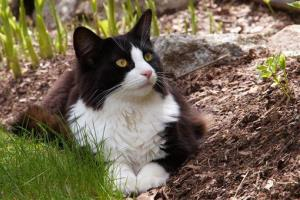 File photo of a tuxedo cat, named for their black and white markings.