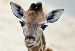 Baby giraffe Martin stands in the enclosure at the Opel Zoo, near Frankfurt, Germany, May 28, 2014.