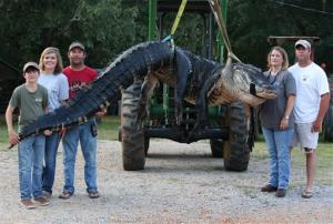In this Saturday, Aug 16, 2014 photo, A monster alligator weighing 1011.5 pounds measuring 15-feet long is pictured in Thomaston, Ala.