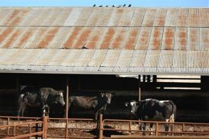 In this January 13, 2014 photo, cows wait to be butchered at Rancho Veal slaughterhouse in Petaluma, Calif.