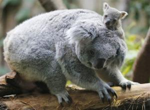 A six-month-old koala joey sits on her mother's back during a media opportunity at Duisburg Zoo in Germany, Wednesday, Jan. 22, 2014.