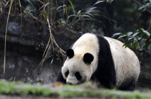 A female giant panda strolls in the China Conservation and Research Center for the Giant Panda in Chengdu.
