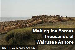 Melting Ice Forces Mobs of Walruses Ashore