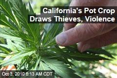 California's Pot Crop Draws Thieves, Violence