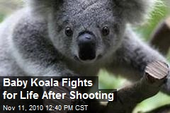 Baby Koala Fights for Life After Shooting