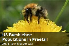 US Bumblebee Populations In Freefall