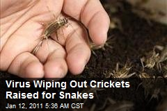 Virus Wiping Out Crickets Raised for Snakes