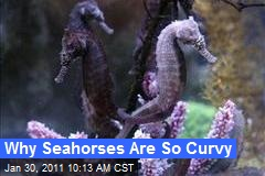 Why Seahorses Are So Curvy