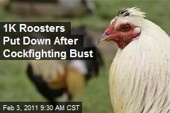 1K Roosters Put Down After Cockfighting Bust