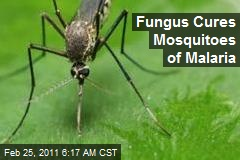 Fungus Cures Mosquitoes of Malaria