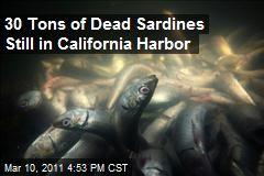 30 Tons of Dead Sardines Still in California Harbor