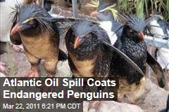 Oil Spill Coats Endangered Penguins in South Atlantic