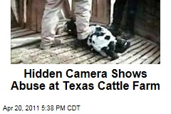 Hidden Camera Captures Abuse of Calves at E6 Cattle Company in Hart, Texas