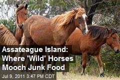 Assateague Island: Where 'Wild' Horses Mooch Junk Food