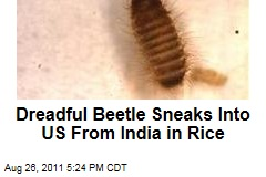 Dreadful Khapra Beetle Sneaks Into US From India in Rice