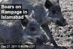 Boars on Rampage in Islamabad, Pakistan