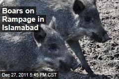 Boars on Rampage in Islamabad, Pakistan