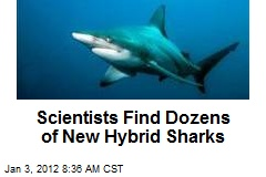 Scientists Find Dozens of New Hybrid Sharks