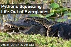 Pythons Squeezing Life Out of Everglades