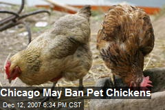 Chicago May Ban Pet Chickens