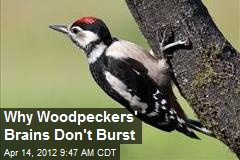 Why Woodpeckers' Brains Don't Burst
