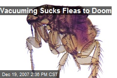 Vacuuming Sucks Fleas to Doom