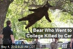 Bear Who Went to College Killed by Car