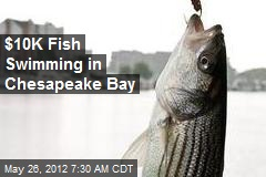 $10K Fish Swimming in Chesapeake Bay