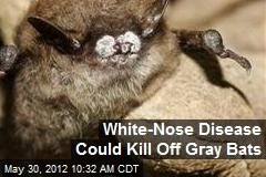 White-Nose Disease Could Kill Off Gray Bats