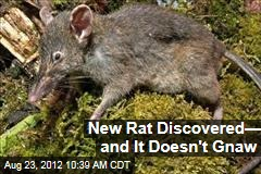 New Rat Discovered— and It Doesn't Gnaw