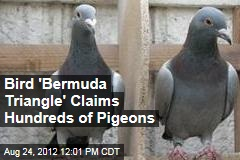 Bird 'Bermuda Triangle' Claims Hundreds of Pigeons