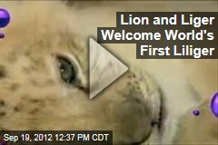 Lion and Liger Welcome World's First Liliger