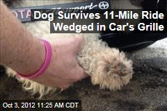 Dog Survives 11-Mile Ride Wedged in Car's Grille