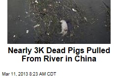 Nearly 3K Dead Pigs Pulled From China River