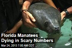 Florida Manatees Dying in High Numbers